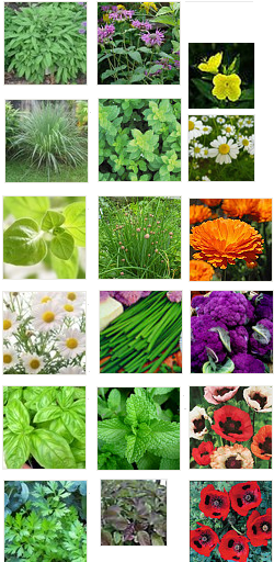 Top to bottom, then left to right:  Sage, Lemongrass, Oregano, Chamomile, Basil, Italian Parsley, Wild Bergamot,Lemon Balm, Garlic Chives, Chives, Peppermint, Holy Basil, Evening Primrose, Feverfew, Calendula, Purple of Sicily Cauliflower, Oriental Poppies, Ladybird Poppies