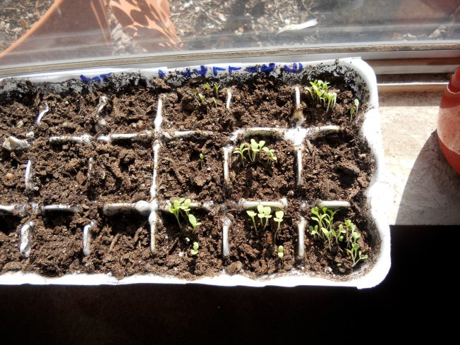 Baby lettuces on Wednesday