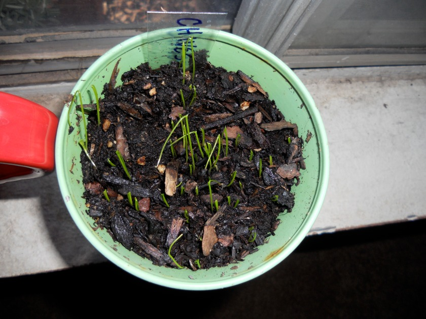 Chives on Friday
